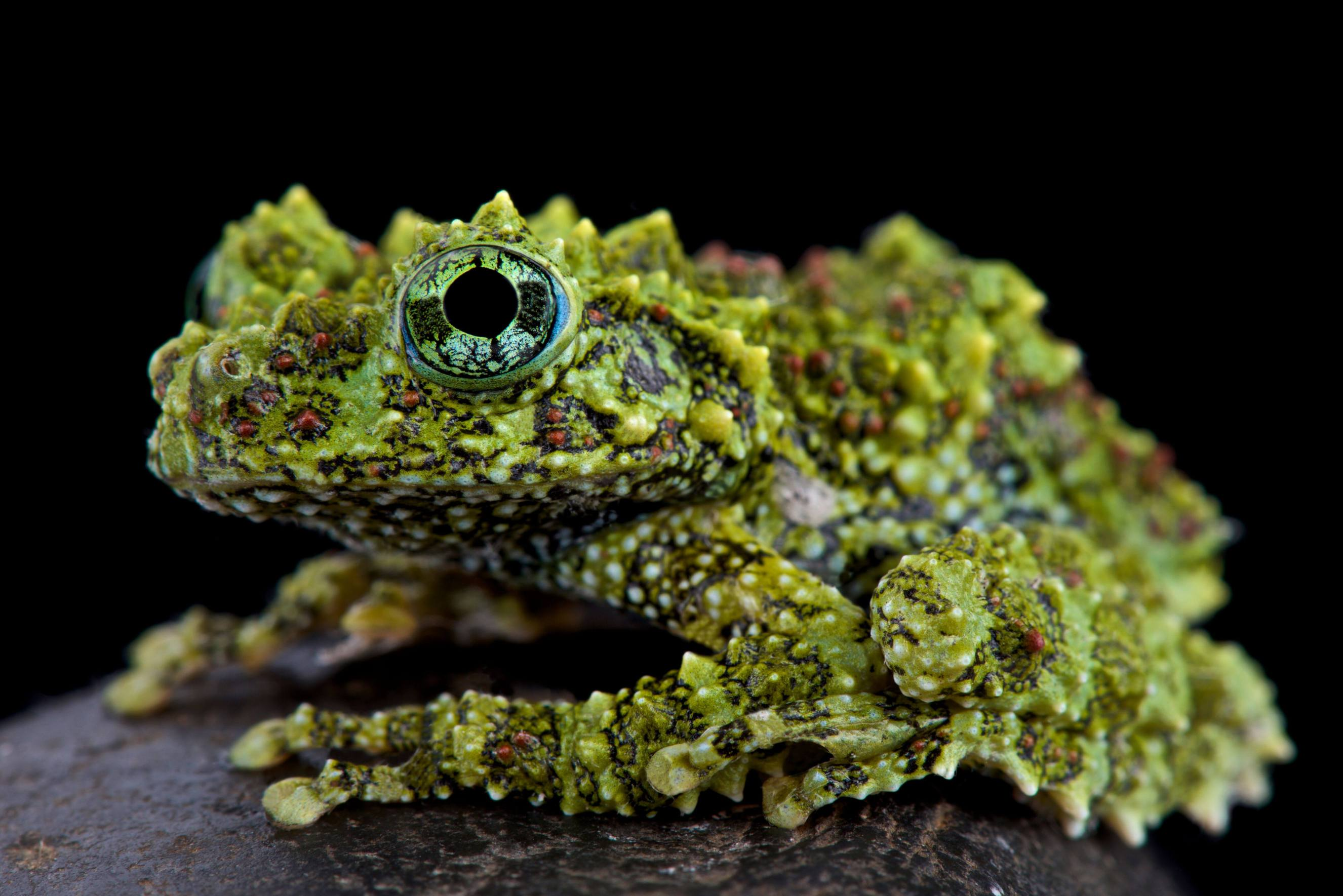 Mossy Frog, Theloderma corticale, Matthijs Kuijpers, cold instinct, mimetic frog, lichen frog, frog from asia