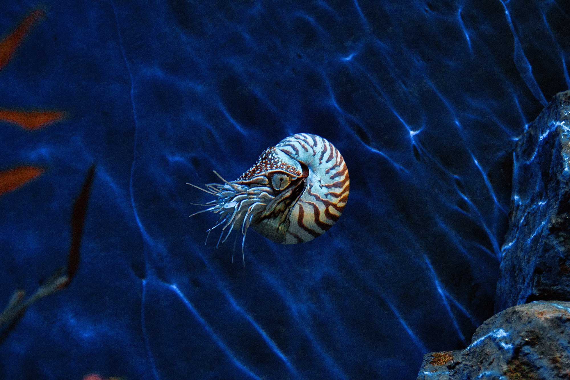 The nautilus shell isn't actually related to the golden ratio.