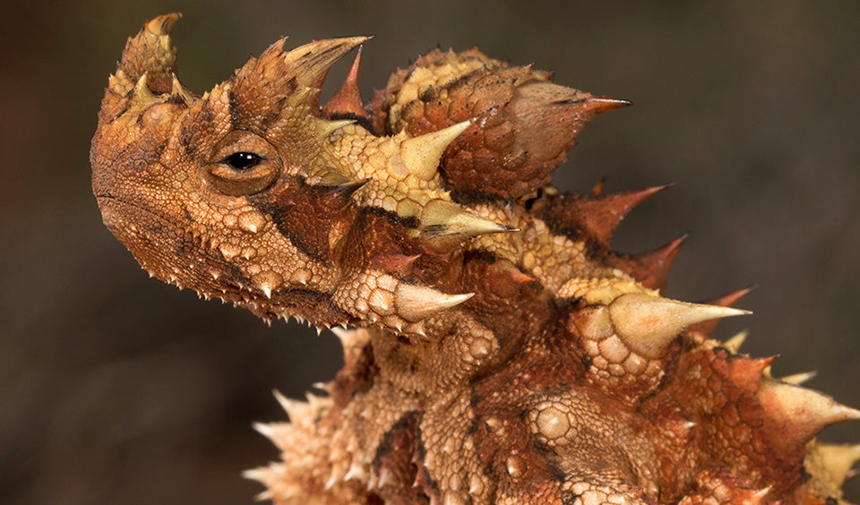 Thorny Devil, false head, Moloch horridus, Cold Instict
