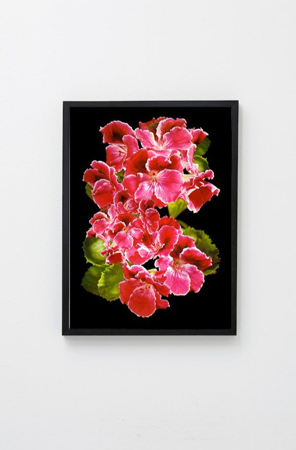 Big Pink (Black Background) framed and hung on white wall
