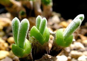 100 seeds/pack succulents seeds rabbit  plant