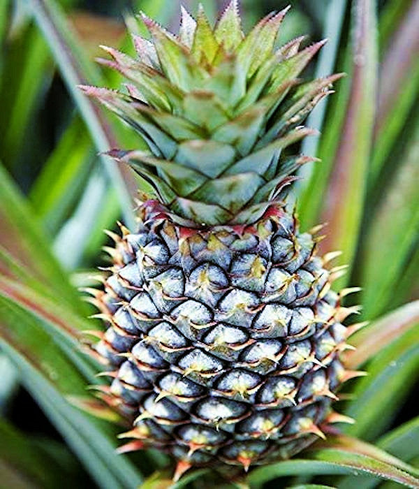 Ananas cosomus Gourmet Pineapple 'Elite Gold'