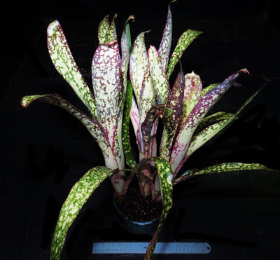 Billbergia  'Simply Irresistible'