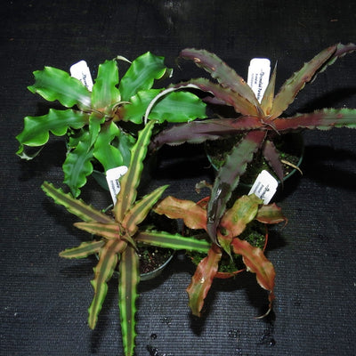 Cryptanthus Four Pack