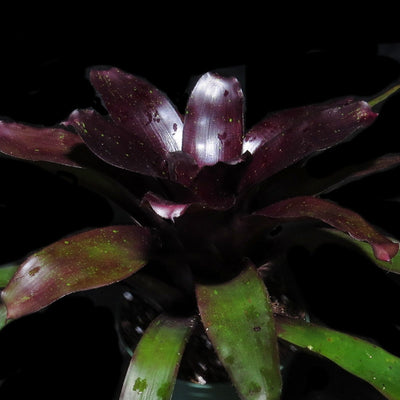 Neoregelia 'Midnight'