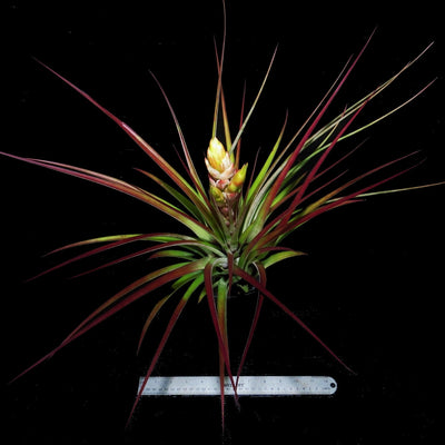 Tillandsia fasiculata 'Yellow Bract' (large form)