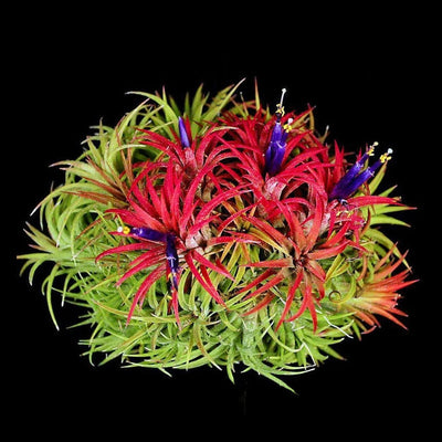 Tillandsia ionantha 'Mexican Select' Cluster
