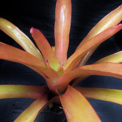 Aechmea blanchetiana cv 'Peaches and Cream' | Bromeliad Paradise