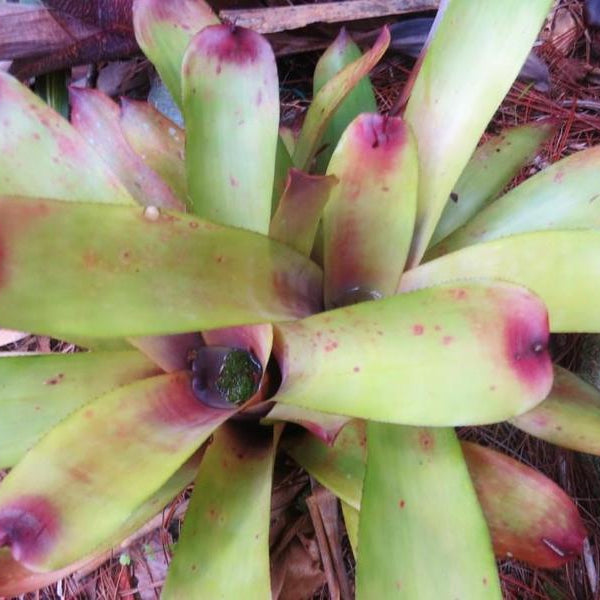 Aechmea caudata 'Yellow'