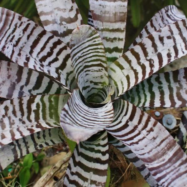 Aechmea chantinii cv. 'Black'
