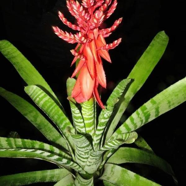 Aechmea chantinii cv 'Skotaks Select Red' | Bromeliad Paradise