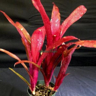 Billbergia 'Royal Blood' | Bromeliad Paradise