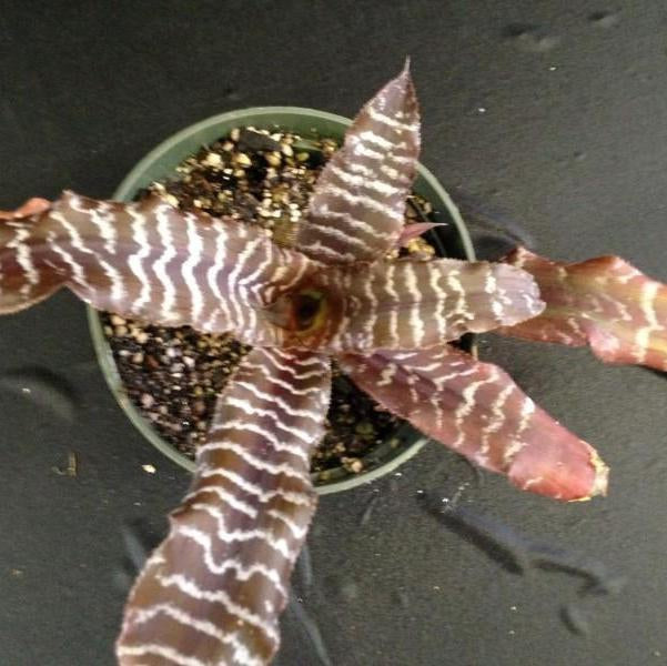 Cryptanthus 'Fudge Ripple'