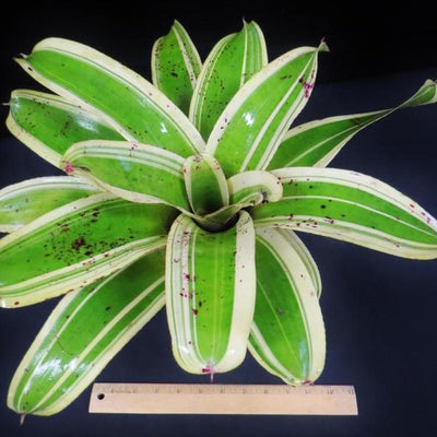 Neoregelia 'Ink Well' (Albo-Marginated) | Bromeliad Paradise