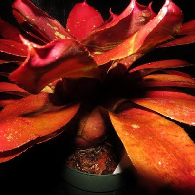 Neoregelia 'Red October' | Bromeliad Paradise
