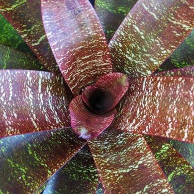 Vriesea fosteriana 'Red Chestnut' | Bromeliad Paradise