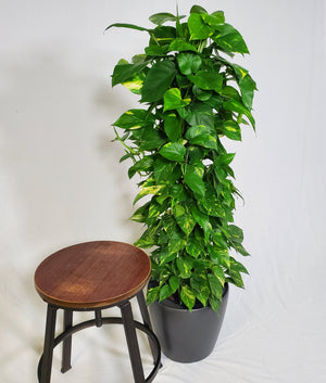 Golden Pothos Totem - Size L - Shop Green Oasis