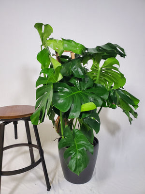 Trellis Monstera - Size L - Shop Green Oasis