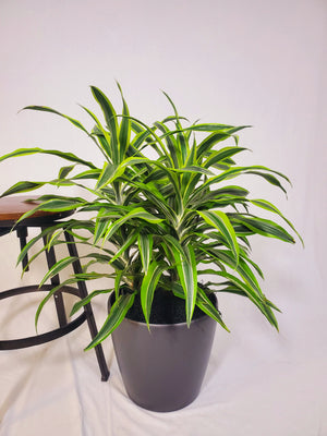 Dracaena Lemon Lime - Size L - Shop Green Oasis