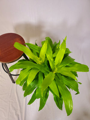 Dracaena Limelight - Size L - Shop Green Oasis
