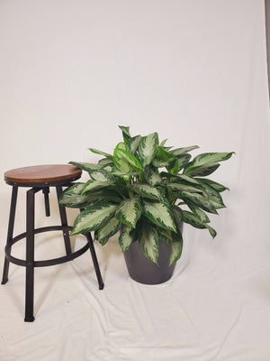 Aglaonema Diamond Bay - Size L - Shop Green Oasis