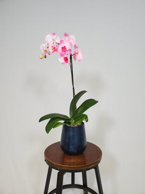 Phalaenopsis Orchid - Pink - Shop Green Oasis