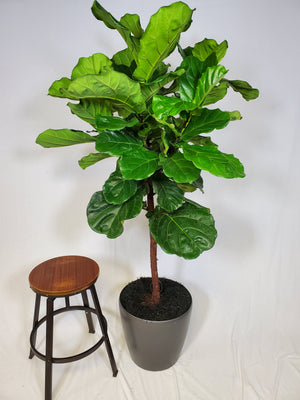 Fiddle Leaf fig - Size XL - Shop Green Oasis