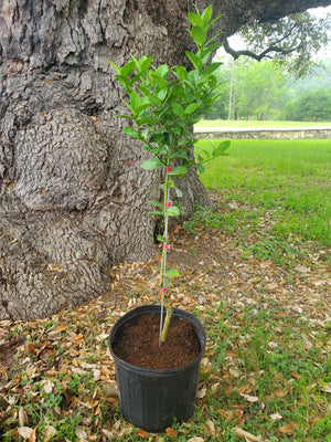 Key Lime Tree - Size L - Shop Green Oasis