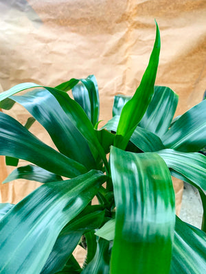 Dracaena Lisa Cutback Cane - FLASH SALE