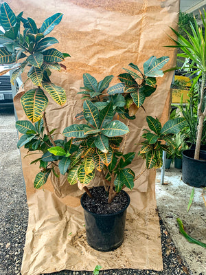 Large Croton Plant- Only 1 Available - FLASH SALE