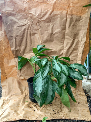 Aglaonema - Chinese Evergreen - FLASH SALE
