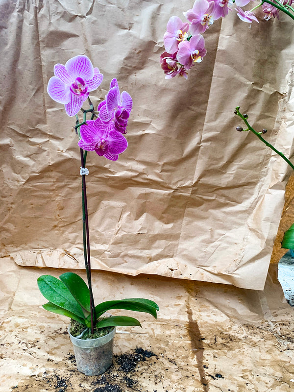 Blooming Orchids - FLASH SALE