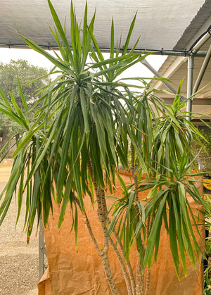 Dragon Tree - Flash Sale