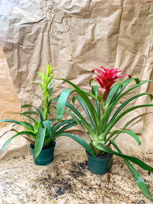 Bromeliads - Red - Yellow - FLASH SALE