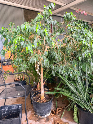 Ficus Benjamina - FLASH SALE