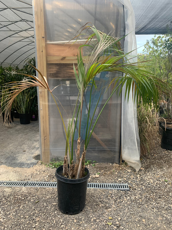 Palm Plant - FLASH SALE