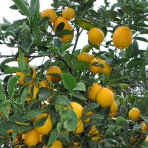 Meyer Lemon - XL - Shop Green Oasis