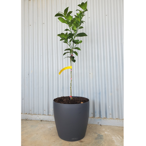 Meyer Lemon Tree- Size L - Shop Green Oasis