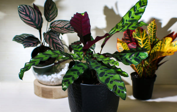 Calathea Duo - 2 for 1