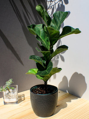 Fiddle Leaf Fig - Gift Plant - Shop Green Oasis