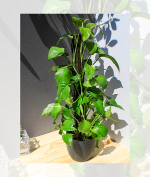 Golden Pothos Totem - Gift Plant - Shop Green Oasis