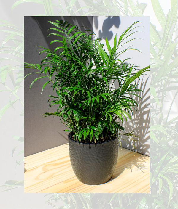 Neanthabella Palm - Gift Plant - Shop Green Oasis
