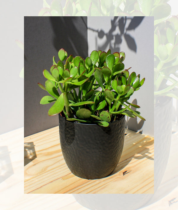"Jade ""Lucky"" Plant - Gift Plant - Shop Green Oasis"