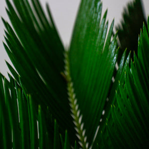 King Sago Palm - Gift Plant