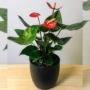 Red Anthurium - Gift Plant