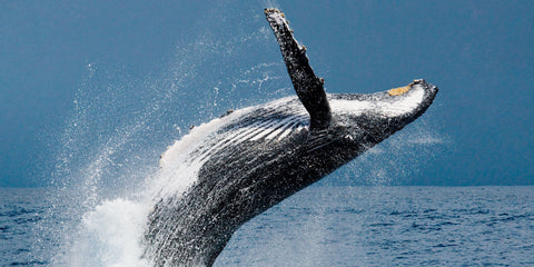 facts-humpback-whales