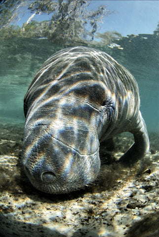 manatee-endangered-species