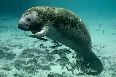 manatees-research