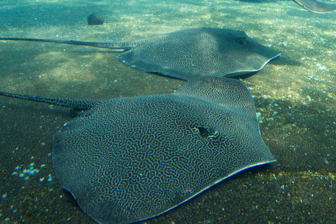 manta-ray-pictures