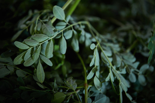 The Miracle of Moringa